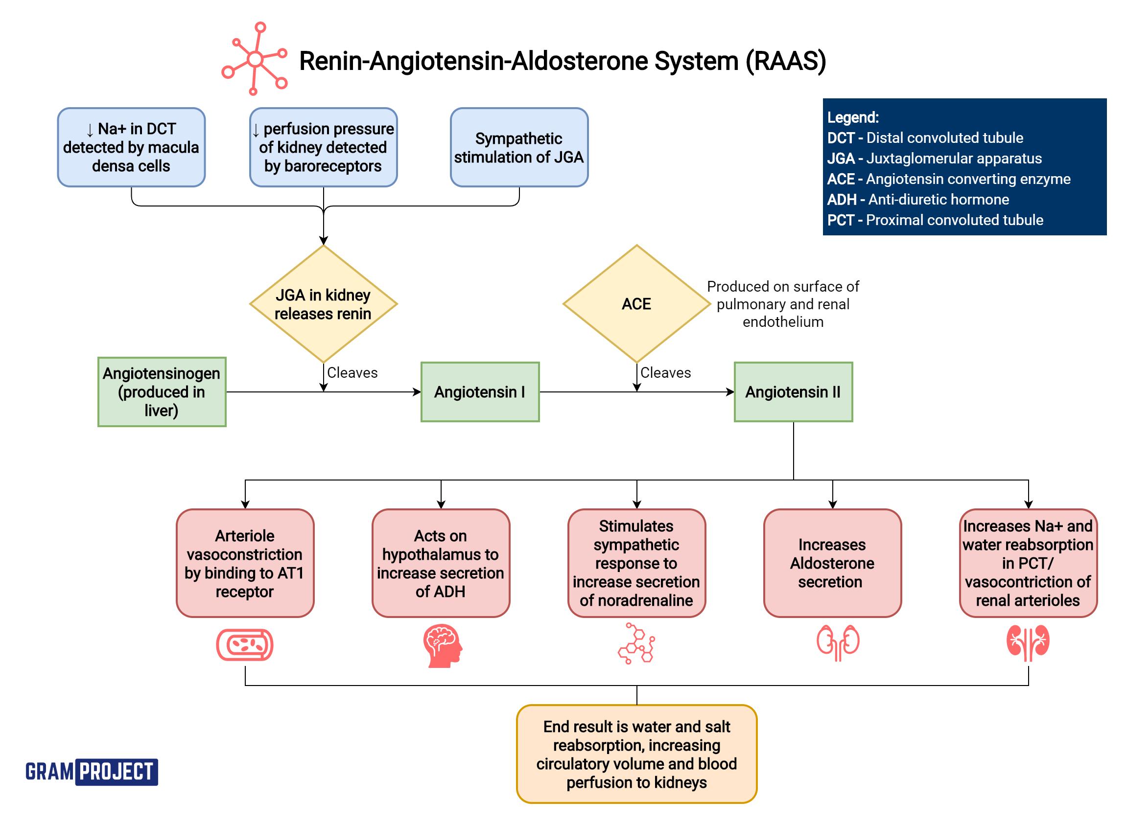 Renin-Angiotensin-Aldosterone System flowchart