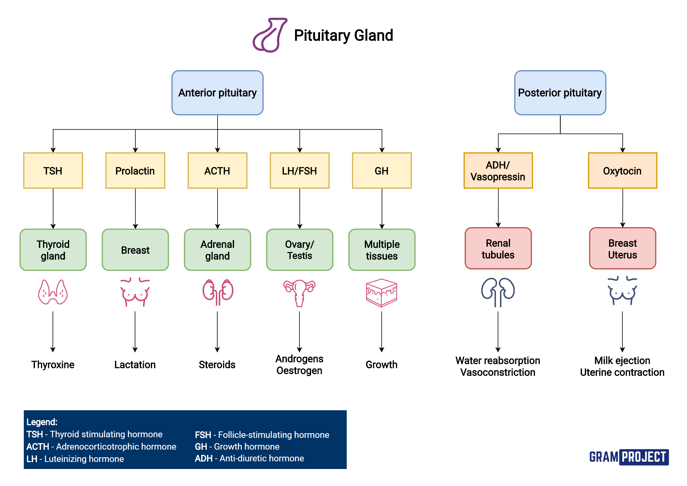 Summary of hormones released by the pituitary gland and their action