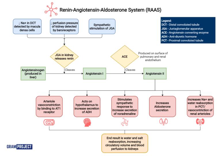 Renin angiotensin-aldosterone system (RAAS) flowchart