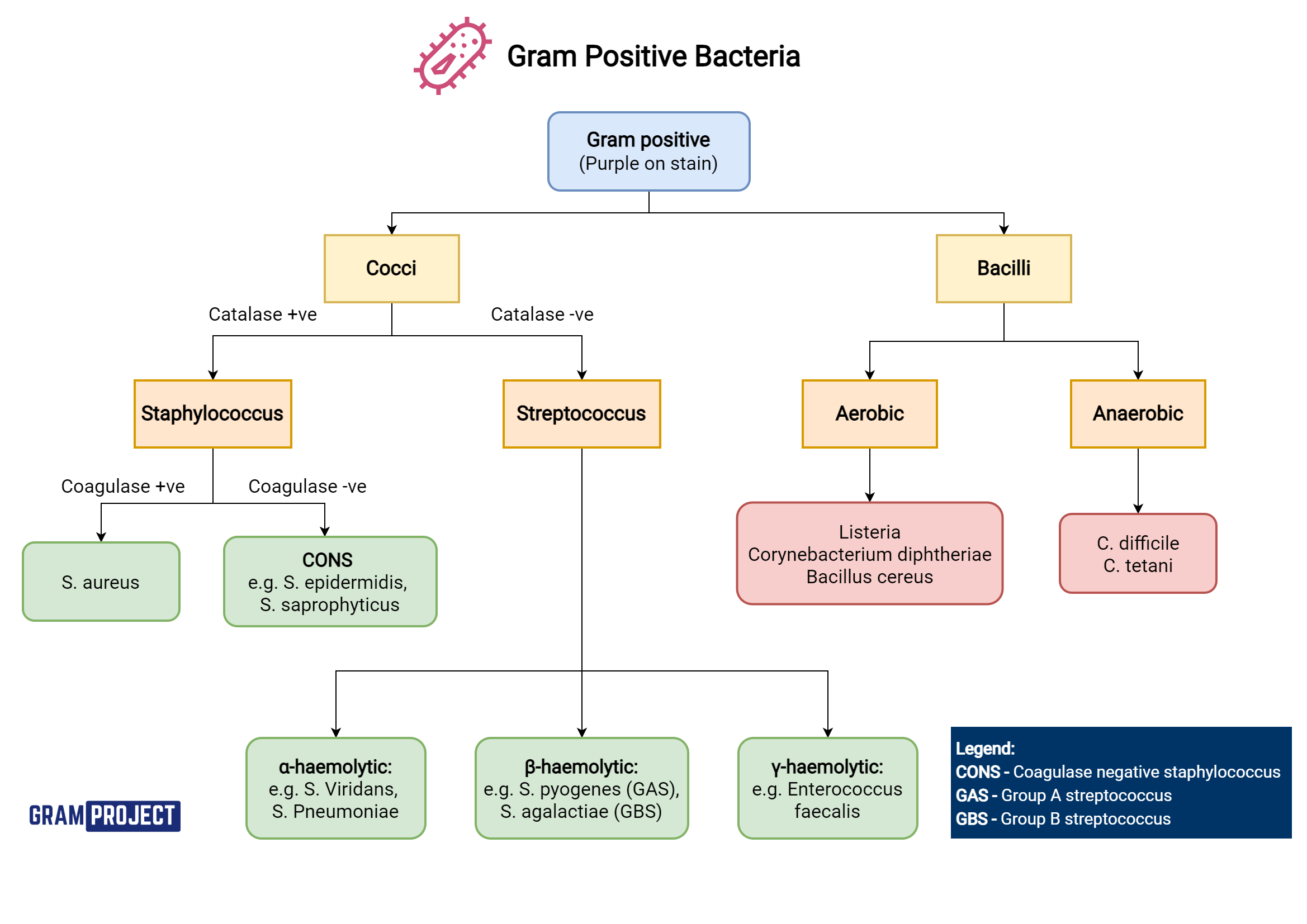 Gram positive bacteria types and classification